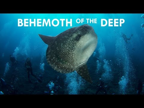 Mola Mola: Behemoths Of The Deep