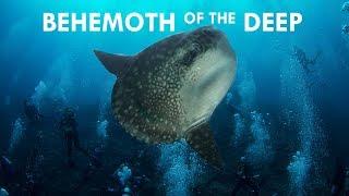 Mola Mola: Behemoths of the Deep