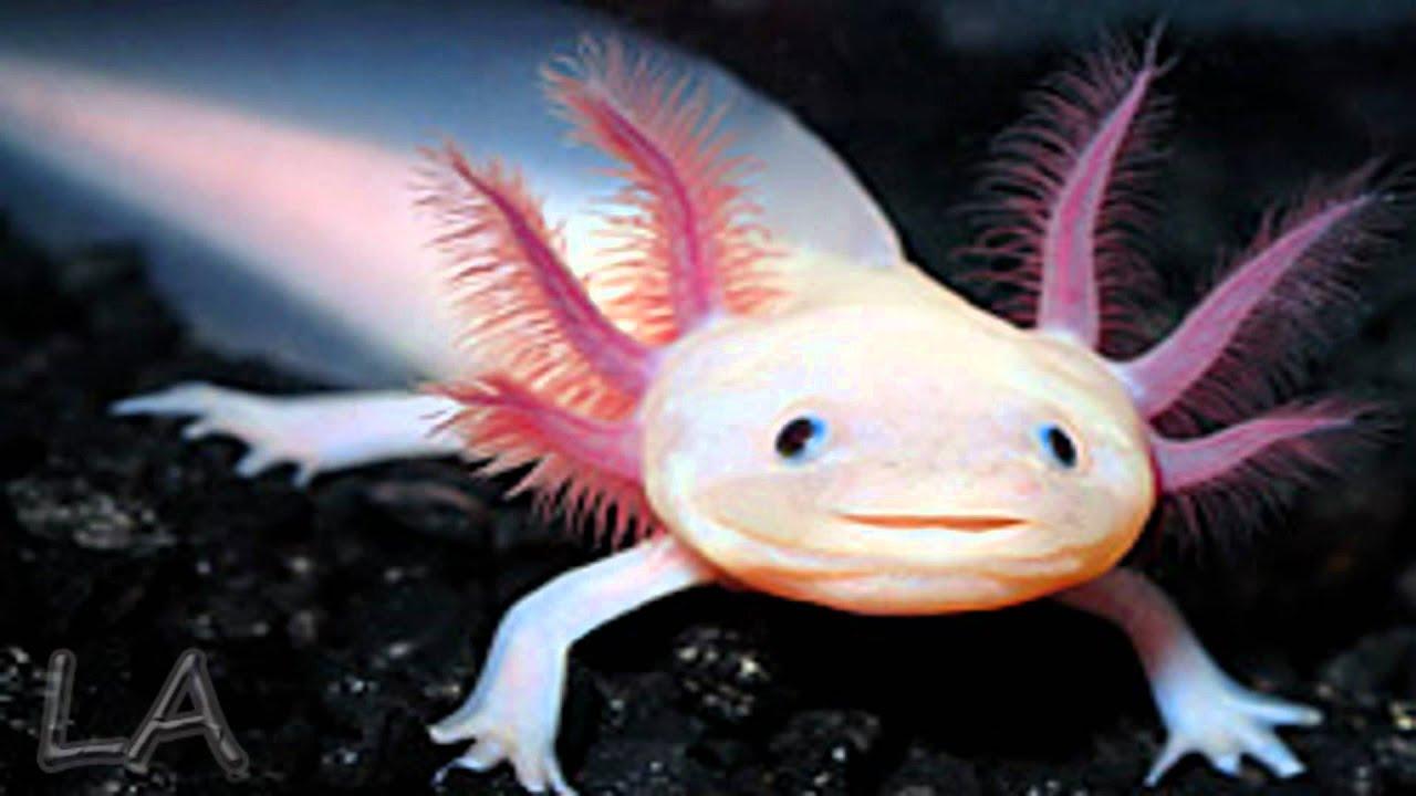 Axolotl - YouTube