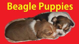 Tiny Beagle Puppy Video Buy Pocket Beagles For Sale Akc Mini