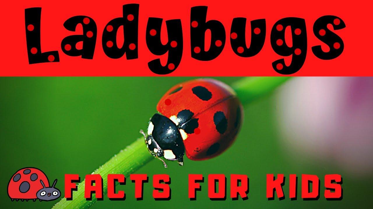 Ladybug Facts for Kids   Bug or Beetle ??? - YouTube