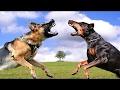 German Shepherd vs Doberman - Bite Work Clash [Mr Friend]