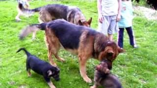 German Shepherd Puppies Ashland Ohio 4