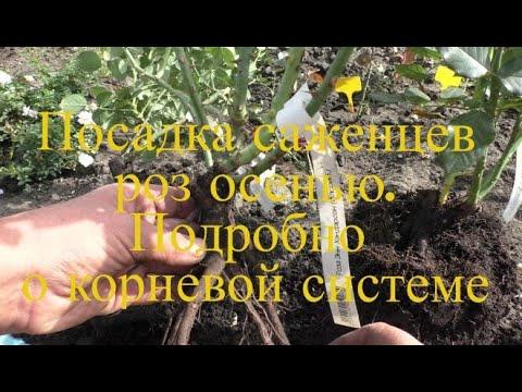 посадка саженцев роз осенью Подробно о корневой системе