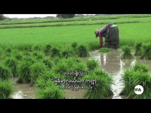 Burmese Agriculture, June 25 2017