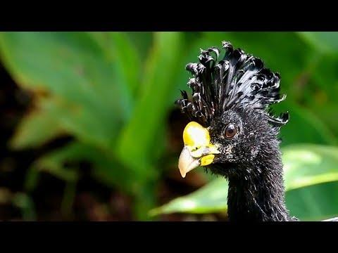 Great Curassow: Tropical Turkey