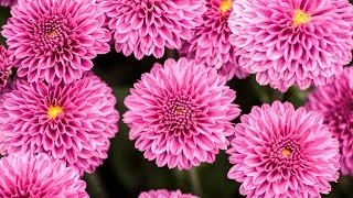 Mums Flowers Parts of Plants Song for Children Kids Kindergarten to Learn Grade Fall Garden Function