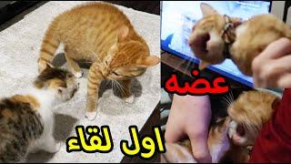 قطتي الجديدة فوفو وسوشي هجم وعضها..