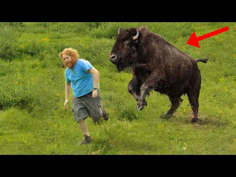 Funny Animals - Bison Chasing And  Attacking People - Animals Videos (2020)