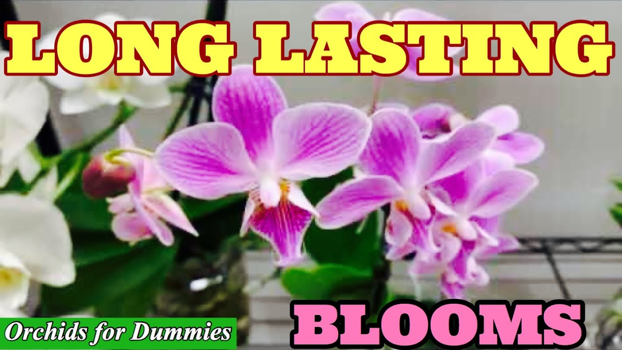 Basic Phalaenopsis Orchid Care Tips for Long Lasting Blooms!