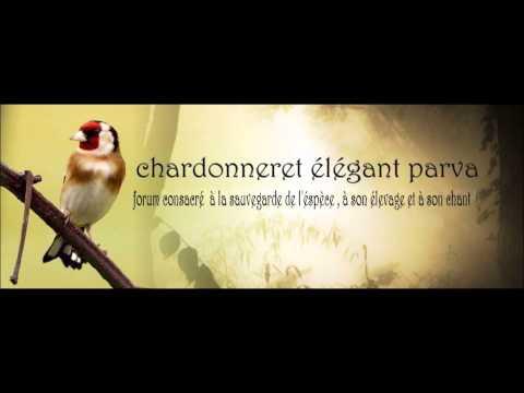 Chant Chardonneret D'Algerie Parva Rec En France 2006 Top