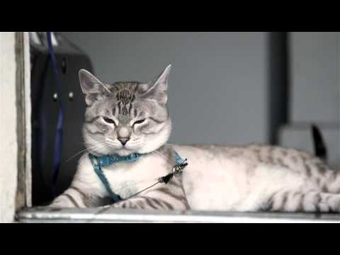 lincoln the Lynx Point Siamese Kitty