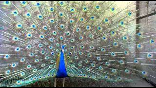 beautiful indian peacock( avicappy.blogspot.com)