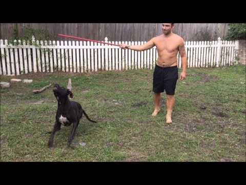 Epic Flirt Pole Session with Sully the Boxer/Amstaff mix