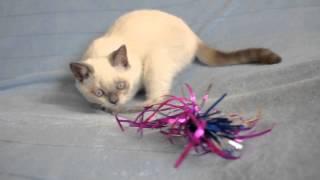 Британский котенок лилак-поинт 3 месяца
