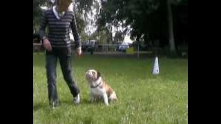 entrainement obéissance COCO bulldog anglais thumbnail