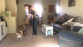 Training A Dog To Focus On Its Handler