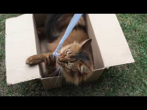 Somali cat playing in a box