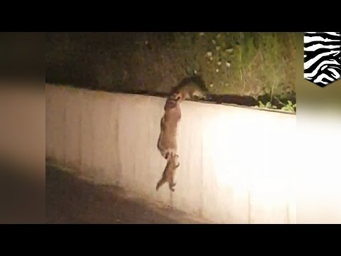 Cute animals: Raccoon family shows off some pretty cool teamwork skills - TomoNews