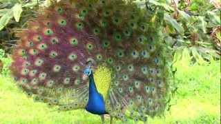 Big Peacock Flashing His Tail Feathers | Kailua-Kona, Hawaii | HD Video