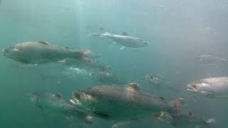 【HTBニュース】成功すれば国内初 根室 海でベニザケ養殖へ