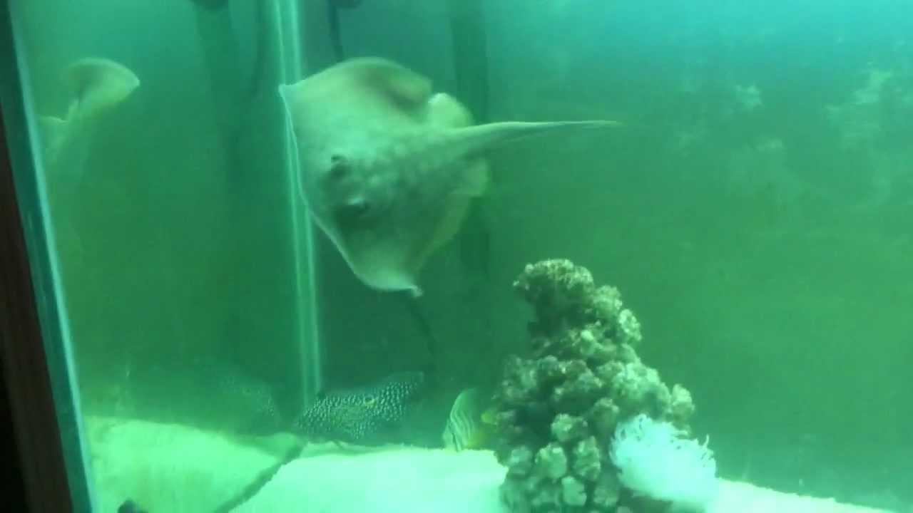 Pet california stingray in my 120gl salt water fish and for Salt water fish pets