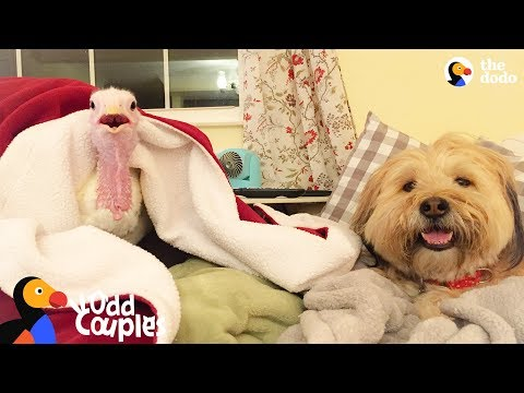 Turkey and Dog Best Friends are Inseparable | The Dodo Odd Couples