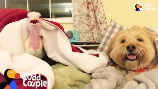 Turkey and Dog Best Friends are Inseparable | The Dodo Odd Couples thumbnail