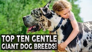 TOP 10 GENTLE GIANT DOG BREEDS!