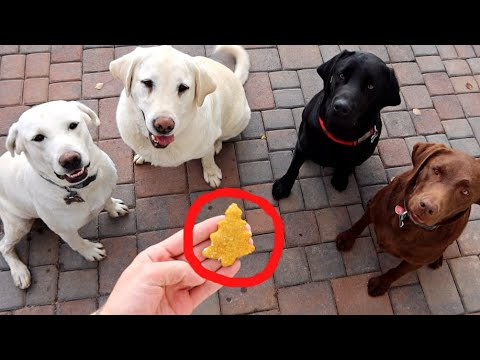 baking-homemade-dog-treats-for-my-labradors!-(recipe-in-description!)