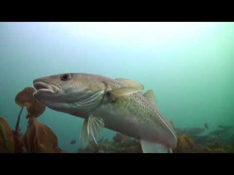The Atlantic Cod (30 seconds)