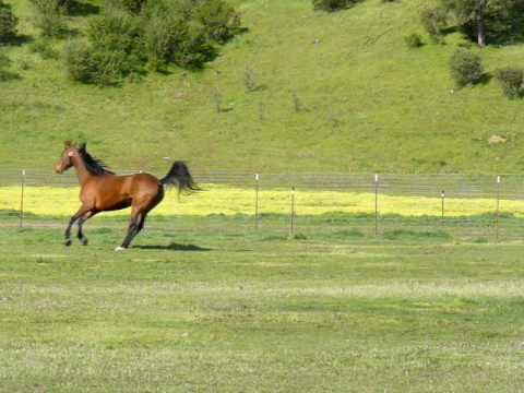 Beautiful Morgan Horse Mare Loping