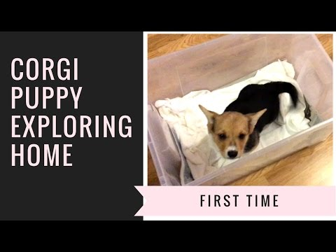 WEEK 1: CORGI PUPPY EXPLORING HOME AND GETTING A TREAT FOR THE FIRST TIME