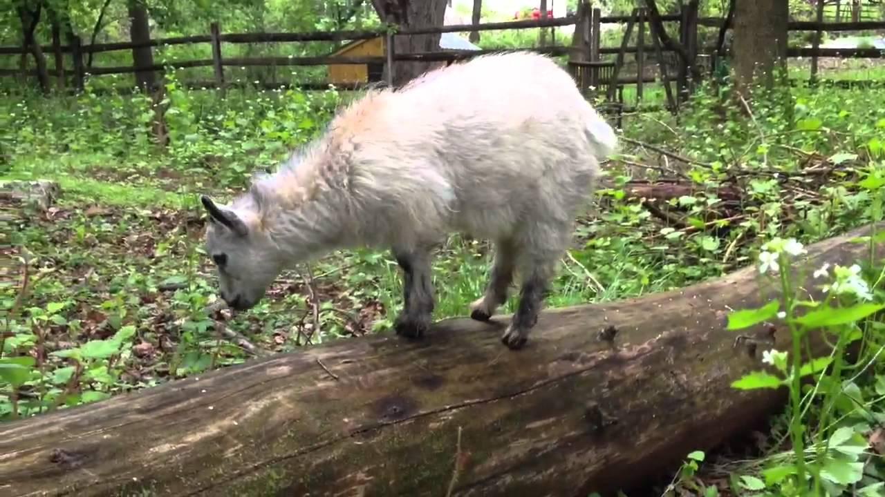 Pygmy Goats Eating Brush Youtube