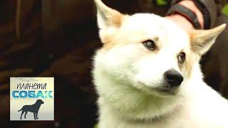 Финские лайкообразные собаки. Планета собак 🌏 Моя Планета