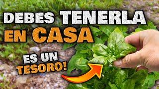 Si Tienes Esta PLANTA TIENES un TESORO!! Tómala TODOS LOS DÍAS | Plantas CURATIVAS y Saludables