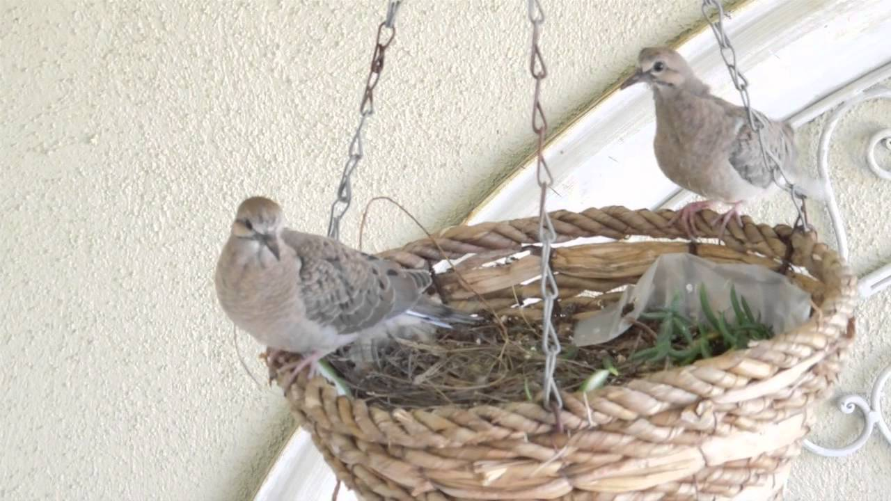 Baby mourning doves almost ready to leave their nest - YouTube