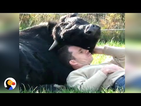 Bullfighting Bull LOVES Rescuer | The Dodo