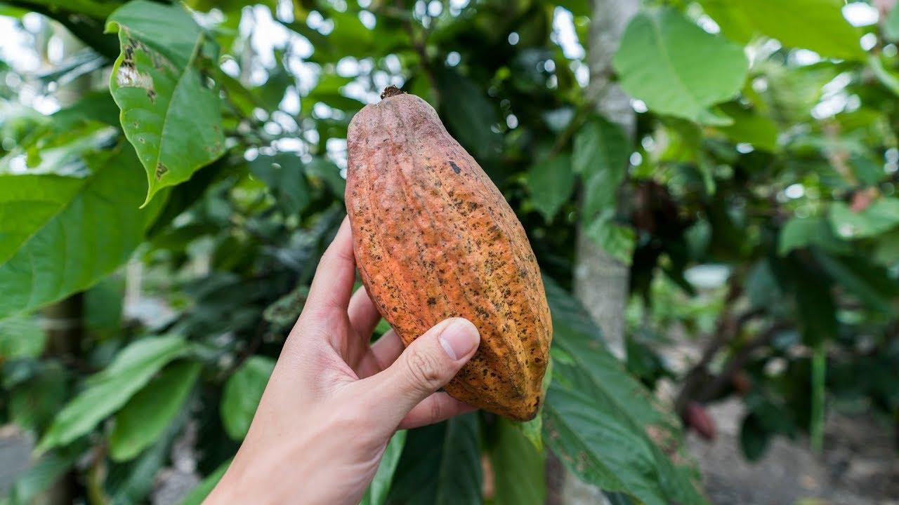 [沖縄台湾#7] Cacao Farm in Taiwan // 台湾のカカオ農園