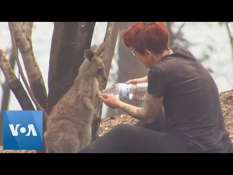 Sports Wrap with Ron Potesta - WATCH: Woman Pours Water on Burned Hands of Kangaroo