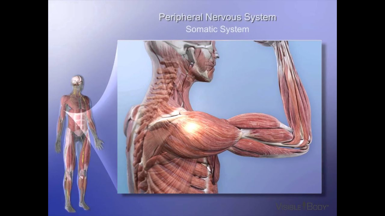 Nervous System Lesson 2 Organization Of The Nervous System Youtube