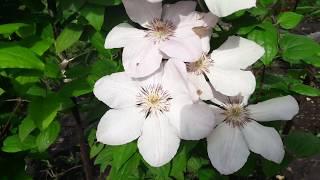 видео Клематис - цветущая лиана