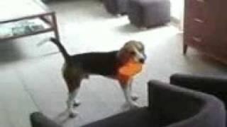Beagle Juice Frodo