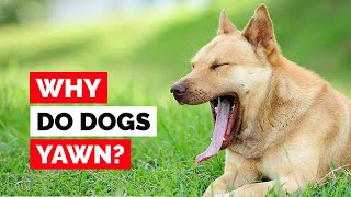 Why Do Dogs Yawn? No, It's Not What You Think!