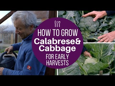 Grow calabrese and cabbage for early harvests, use same method for late cropping too
