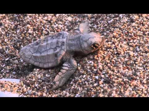 Вопрос: Почему морские черепахи откладывают яйца на суше, а не в воде?