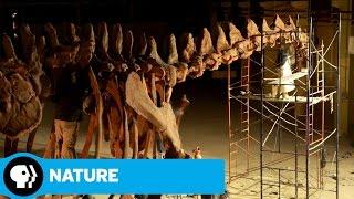 NATURE: RAISING THE DINOSAUR GIANT   Dino Skeleton Timelapse   PBS