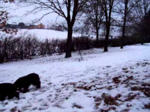 Cocker spaniel inglese sulla neve