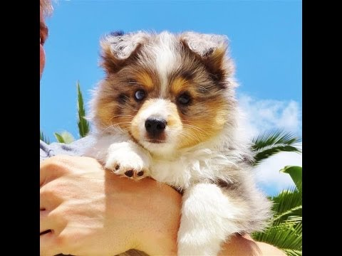 ACA Registered MINI Australian Shepherd Puppy for Sale in San Diego