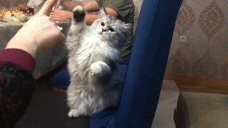 Персидский котенок , ооочень сладкий ))))